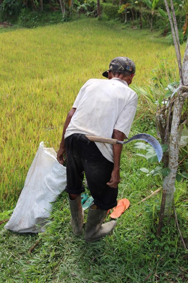 Farmer cutting rice with a sickle