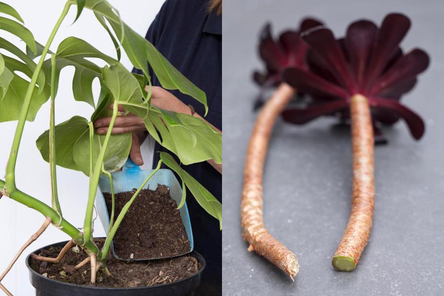 Monstera and aeonium stems