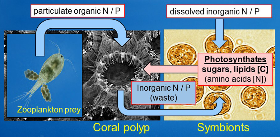 "The nitrogen and phosphorus-rich waste products resulting from the digestion of the food by the coral are ""recycled"" by their algal partners and help the algae to grow while retaining the precious nutrients within in the symbiotic association."