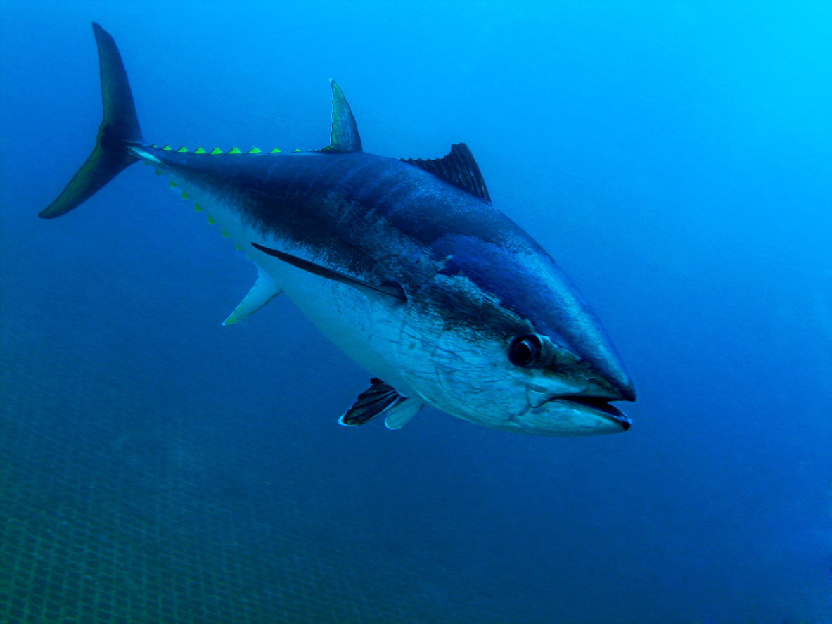 An underwater view of a large tuna, showing its streamlined shape and large tail.
