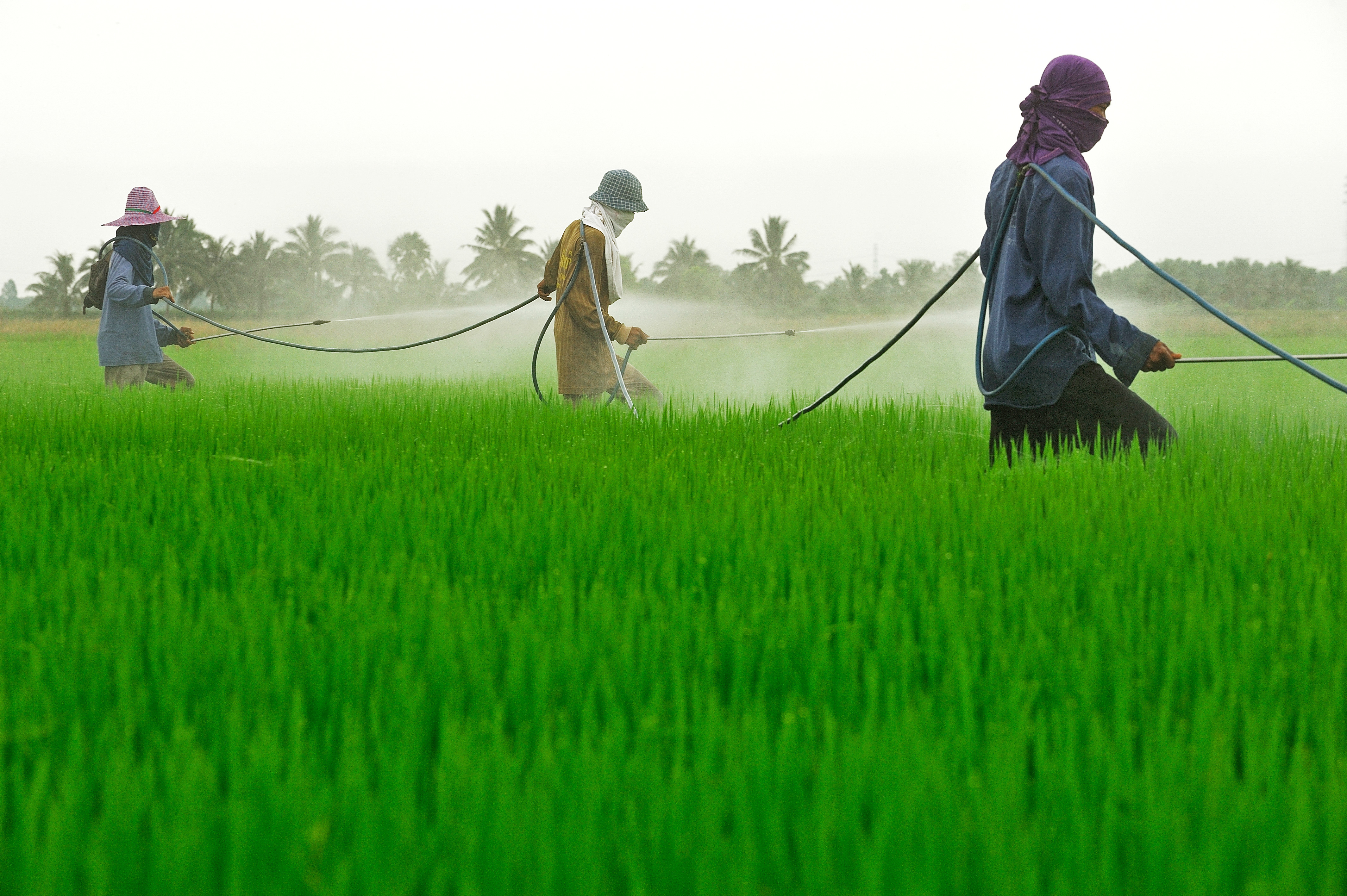 Rice farmes spraying pesticides on a rice field