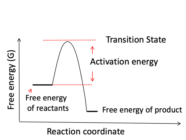 free energy of uncatalysed reaction. It highlights that the peak of the graph to be the transition state and that the difference between the free energy of reactants and the transition state is called activation energy.