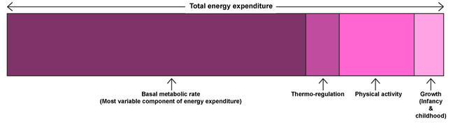 Components of total energy expenditure