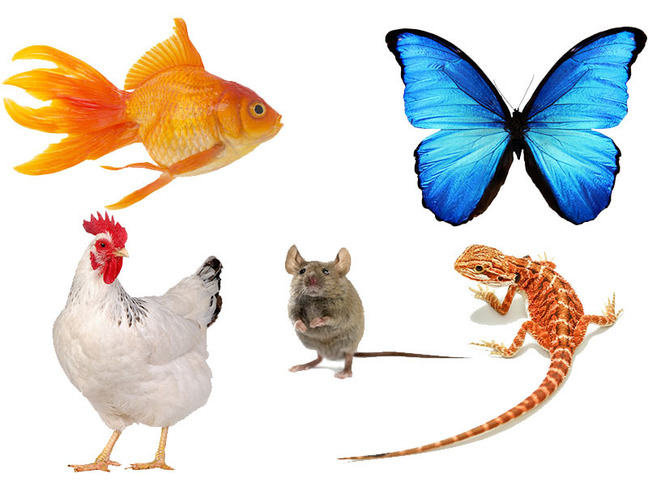 A composite image of a goldfish, a blue butterfly, a chicken, a mouse and a brown and white stripey lizard on a white background