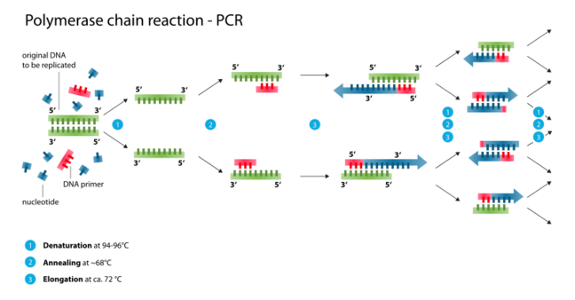 Diagram of the polymerase chain reaction (PCR), which is used in molecular biology to amplify a specific fragment of DNA. 1) A reaction mixture that includes a double-stranded DNA template, single-stranded DNA primers, nucleotides and Taq DNA polymerase enzyme, is heated in a PCR thermal cycler machine to 94 to 98 degrees centigrade. The high temperature causes each double-stranded DNA molecule to separate into two single-stranded DNA molecules. This step is called denaturation. 2) The reaction mixture is cooled to less than 68 degrees centigrade. This allows the DNA primers to bind (or anneal) to the complimentary regions in the now single-stranded DNA templates. This step is called annealing. 3) The temperature is raised to 72 degrees centigrade, the optimum temperature for the Taq DNA polymerase enzyme to function. It creates a complimentary copy of the DNA template by moving along the template and adding nucleotides, and so each single-stranded DNA molecule is converted into a double-stranded molecule. This step is called elongation. A specific region within the DNA template has now been duplicated. 4) Steps 1 to 3 are repeated multiple times (typically 30 to 35 times). The reaction is exponential (i.e. one copy is used to makes two copies after cycle 1, which are used to make four copies after cycle 2, eight copies after cycle 3, sixteen copies after cycle 4, and so on). The final PCR reaction mixture will contain billions of copies of a specific fragment of DNA.