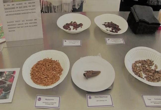 A selection of edible insects on display on paper plates, including mealworms, giant waterbugs and crickets: