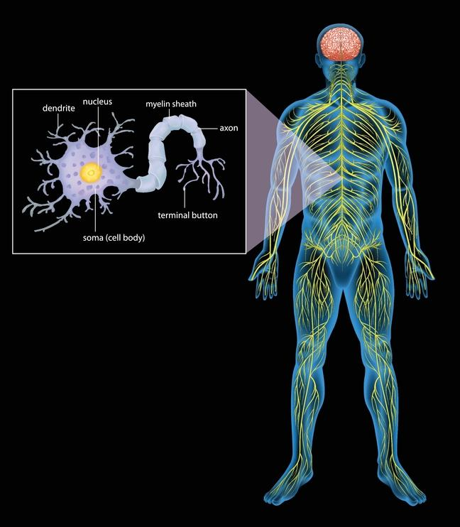 The nervous system consists of the brain, spinal cord and the peripheral nerves