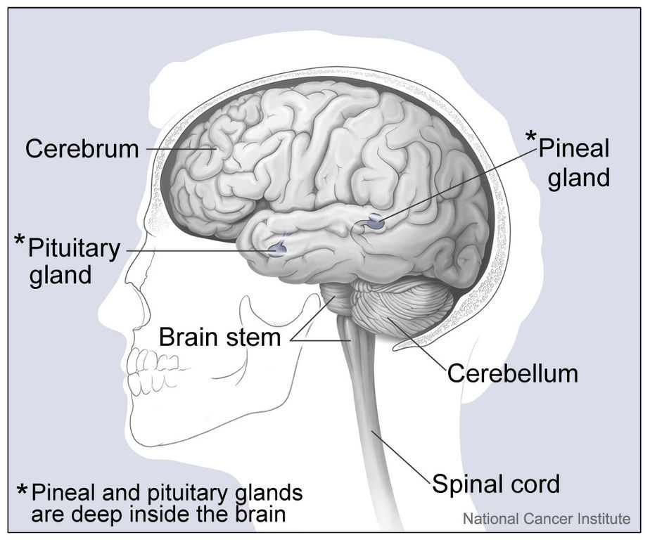 diagram of the brain that shows the location of the pineal gland where melatonin is produced