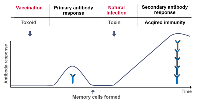 Figure depicting the process of active immunisation, where for example an inactivated toxin – a so-called toxoid – is introduced into the organism. After the necessary time the vaccinated organism mounts the first antibody response. Through this, memory cells are formed. If the natural toxin later infects the body, the specific immune response is not only quicker but it has also gained in scope.