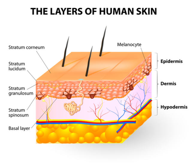 A diagram shows the layers of human skin