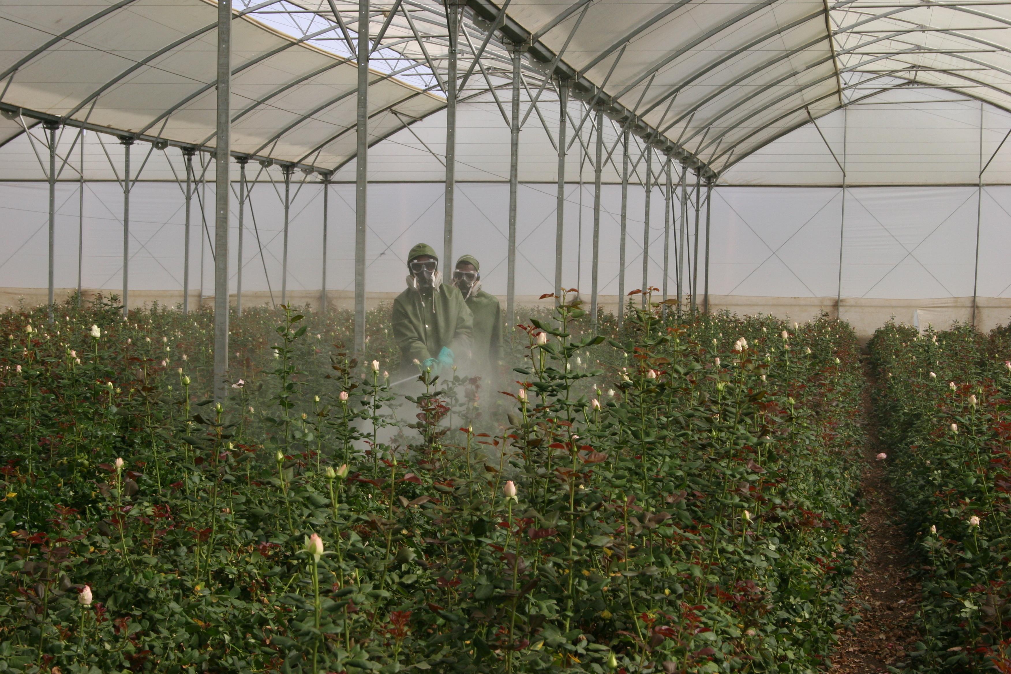Spraying in flower farm
