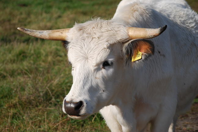A close photo of a white cow with horns