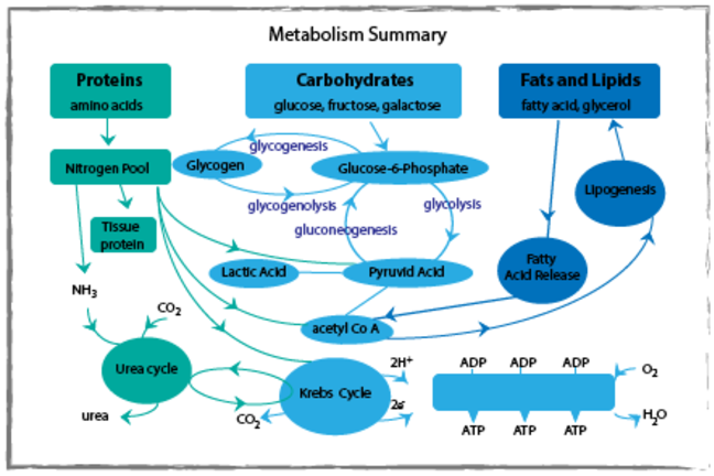 Metabolism summary diagram