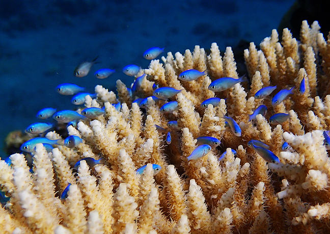 Small bright blue fish weave amongst a white coral.