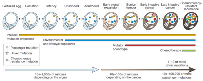This picture shows the acquisition of mutations through the lifetime of a cell as it divides - from a single celled fertilized egg through to becoming a cancer cell. The lines and symbols show the timing of the somatic mutations acquired by the cancer cell and the processes that contribute to them, and are explained in detail in the text below.