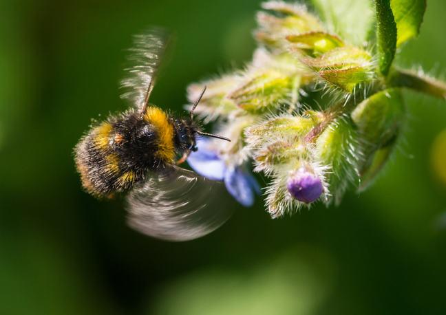 A bumblebee (Bombus terrestris L.) pollinating a borage flower (Borago officinalis L.)