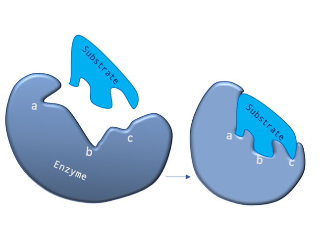 "In this figure the image on the left shows a cartoon enzyme with a misshapen substrate binding site that has three labelled features (a, b and c).  A substrate molecule, which has a different shape to the substrate binding is shown above the enzyme. The image on the right shows the change in shape that occurs in the enzyme as the substrate engages - the labelled features have been ""induced"" to change shape due to the interactions between the enzyme and substrate."