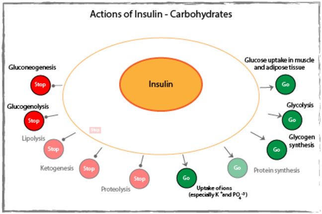 Actions of insulin on carbohydrates diagram.
