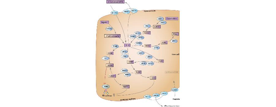 Representation of the metabolic pathways for fluoropyrimidines