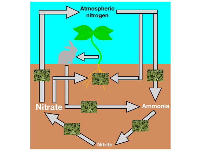 This figure shows nitrogen cycle showing the role of microbes, plants and animals in cycling nitrogen from the atmosphere into usable nitrate in the soil. The nitrogen cycle involves gaseous nitrogen from the atmosphere being fixed into ammonia and then converted to nitrate, a usable form of nitrogen for plants. Ammonia is also formed via the decomposition of plants and animals. Bacteria are involved at all stages of the nitrogen cycle.
