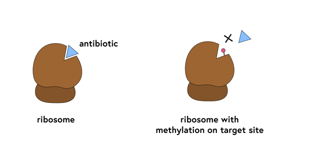 Schematic of a ribosome with an antibiotic fitting into a groove; the same ribosome with a blob representing methylation blocking the groove so the antibiotic can no longer fit