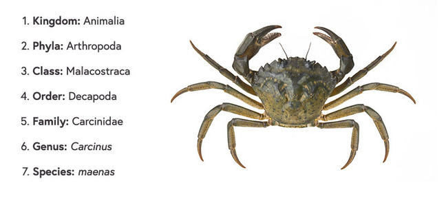 A top down view of a crab on a white background, on the left side of the image is a list of its classification scheme. Kingdom: Animalia. Phyla: Arthopoda. Class: Malacostraca. Order: Decapoda. Family: Carcinidae. Genus: Carcinus. Species: maenas.