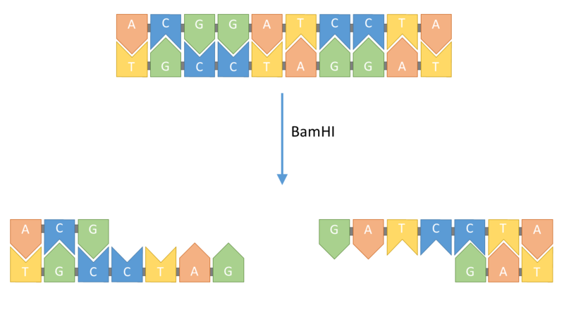 Diagram to show restriction of DNA by BamHI enzyme. The enzyme cuts the DNA at the sequence GGATCC and leaves 'sticky ends' that can attach to complementary sticky ends.