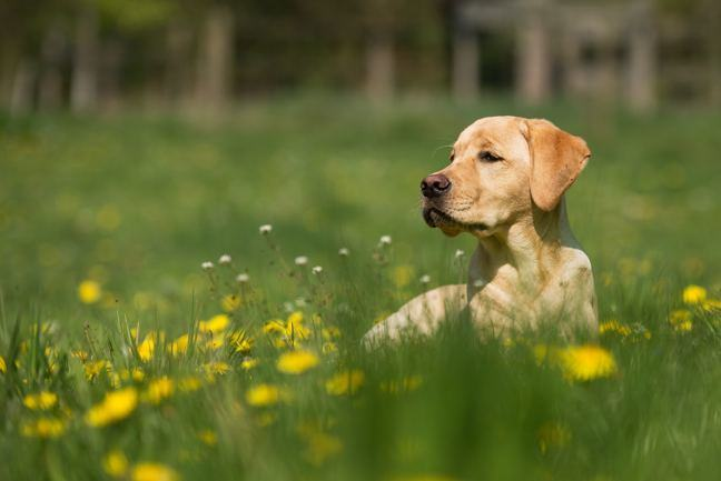 Image of a golden Labrador in a grassy field.