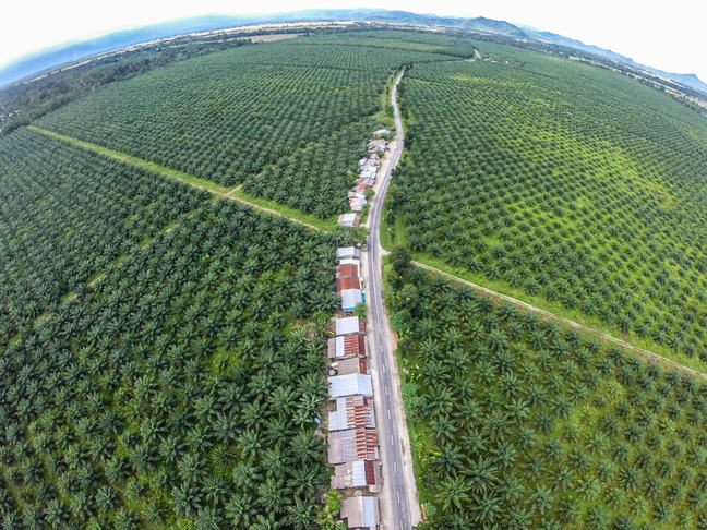 Image of a palm oil plantation in Indonesia, showing the monoculture of palm trees