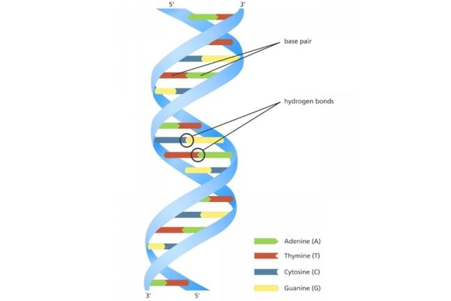 Colour diagram of the double helix