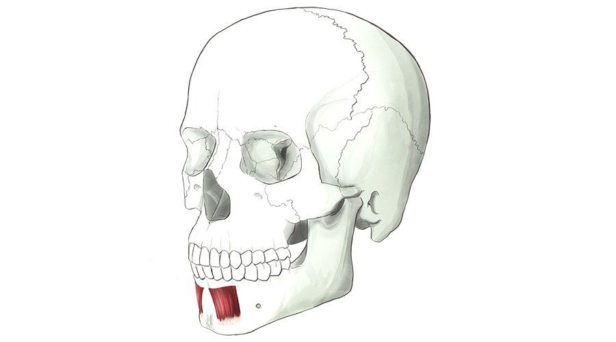 Depressor Labii Inferioris. A muscle which pulls down the bottom lip