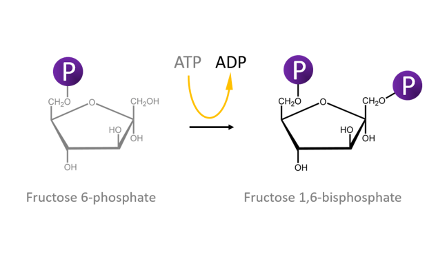 This figure shows conversion of fructose 6-phosphate to fructose 1,6-bisphosphate. It also shows that this process involves ATP being hydrolysed to ADP