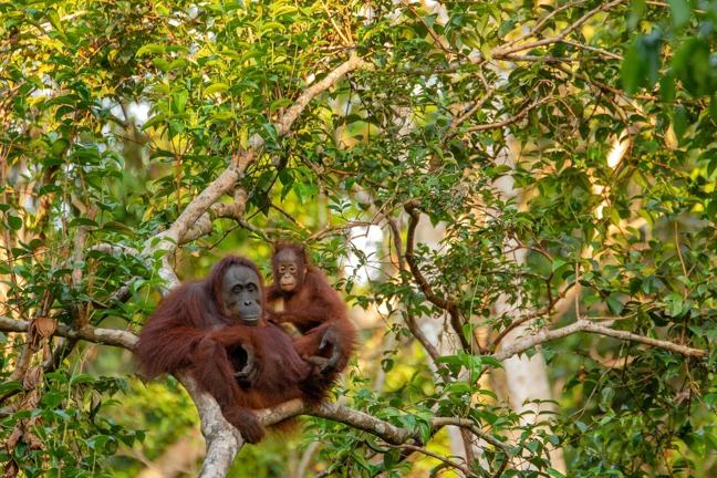 A mother and baby orangutan sitting in a tree with forest background
