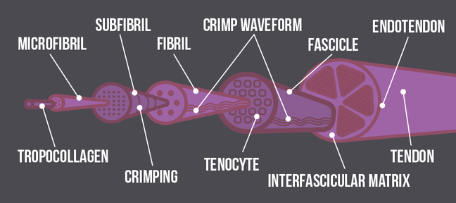 A graphical representation of a tendon which shows how the tendon is made up of different layers. These layers are called (starting with the smallest and working up to the largest) Tropocollagen, microfibril, fribil, crimping, fibre, crimp waveform, tenocyte, fascicle, interfascicular matrix and endotendon.