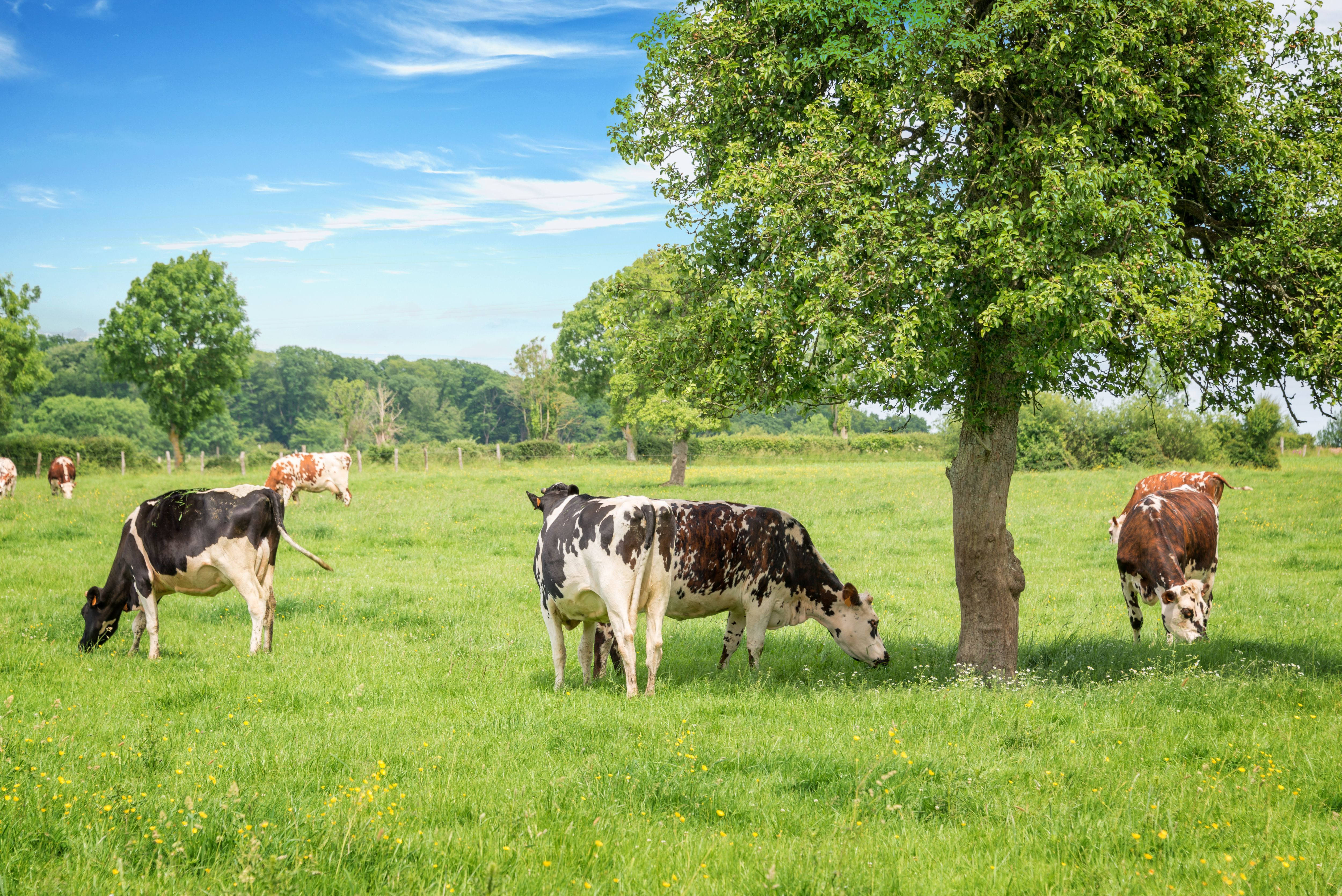 A photograph of cattle grazing on green pasture. There are broadleaf trees growing in the same fields as the cows are grazing