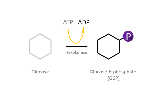 A cartoon showing a glucose molecules which is converted to glucose-6-phosphate through action of the hexokinase enzyme which requires the hydrolysis of ATP
