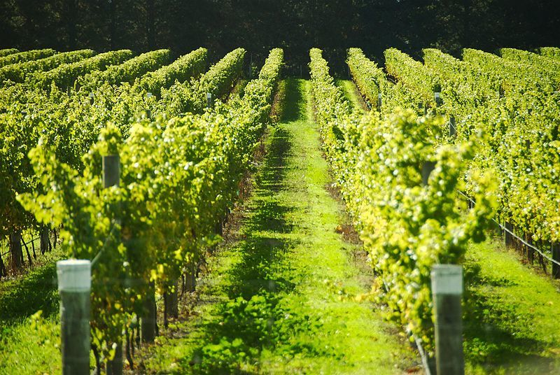 A photo showing a stretch of vines in a vineyard