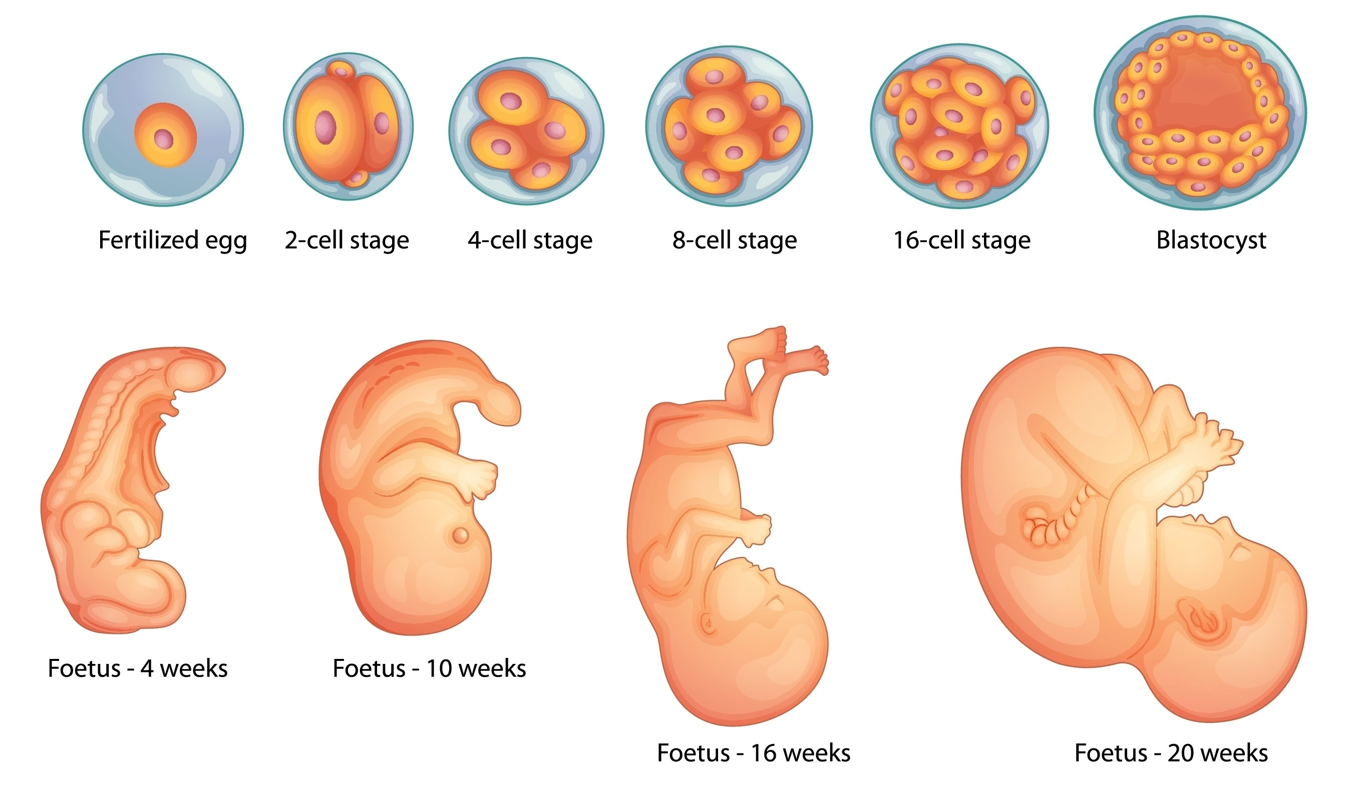The developing fetus from fertilized egg to 20 week old foetus
