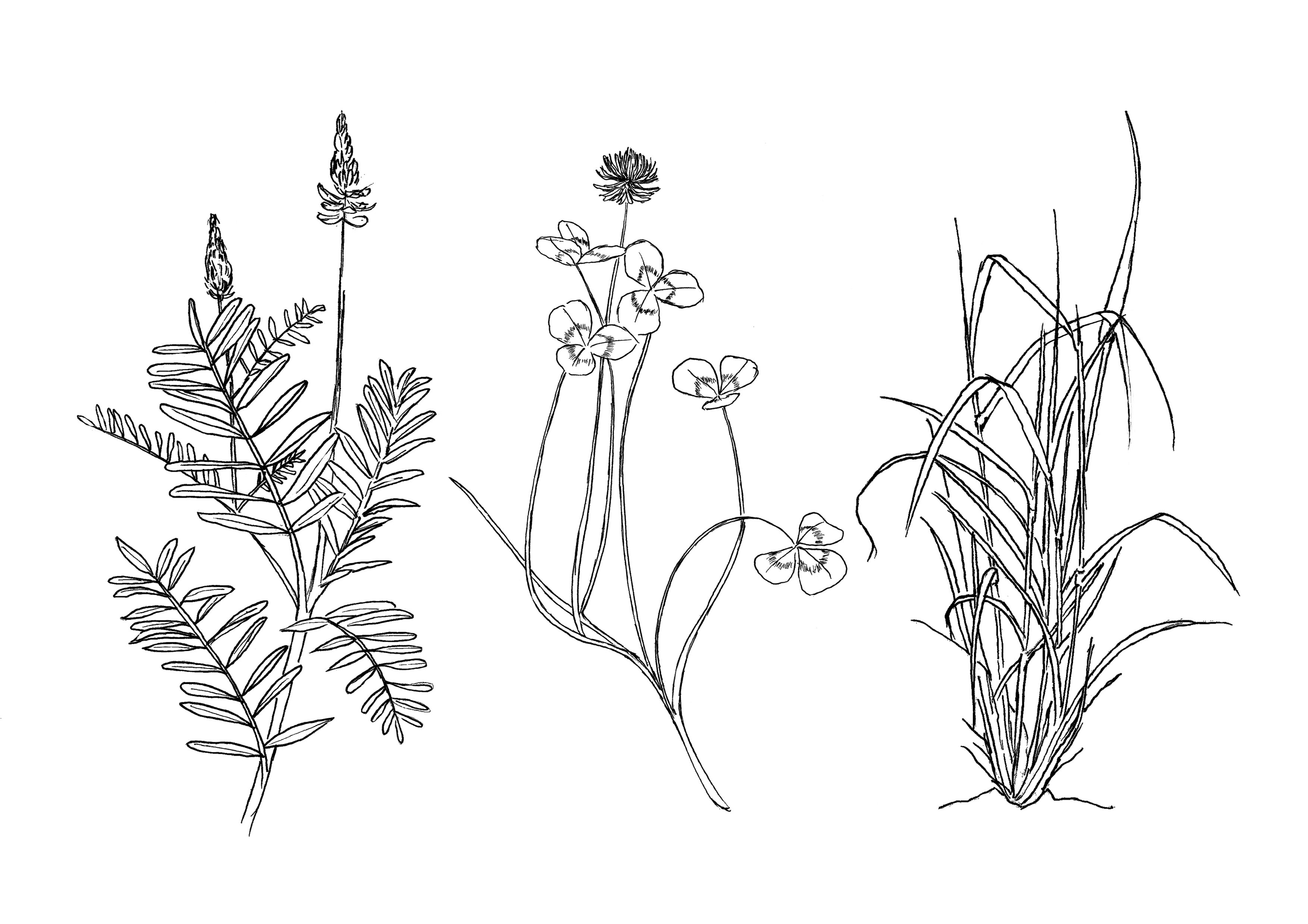 Line drawings of sainfoin, clover and ryegrass
