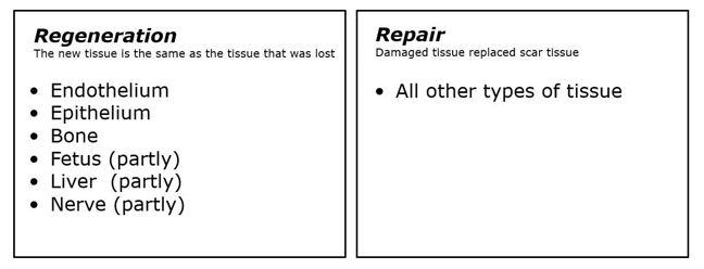 The regeneration and repair of wounds.