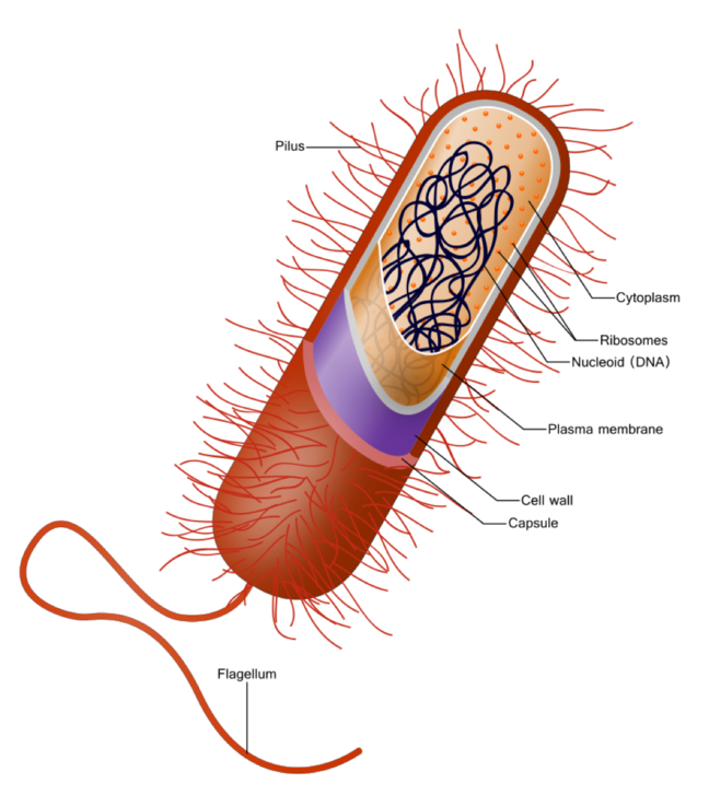 Bacterial cell image