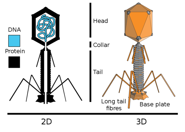 2D: DNA, Protein. 3D: Head, Collar, Tail, Long tail fibres, Base plate