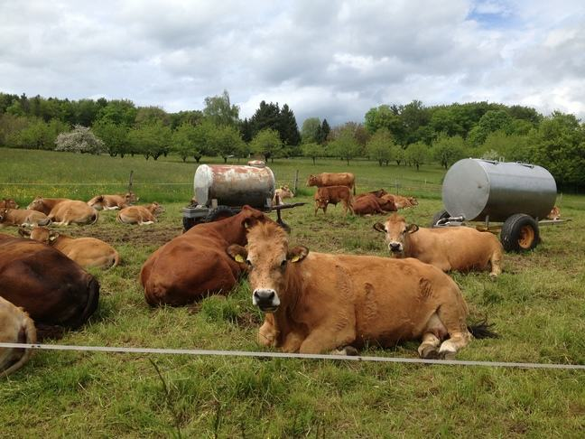 A herd of brown cows lying down in a field