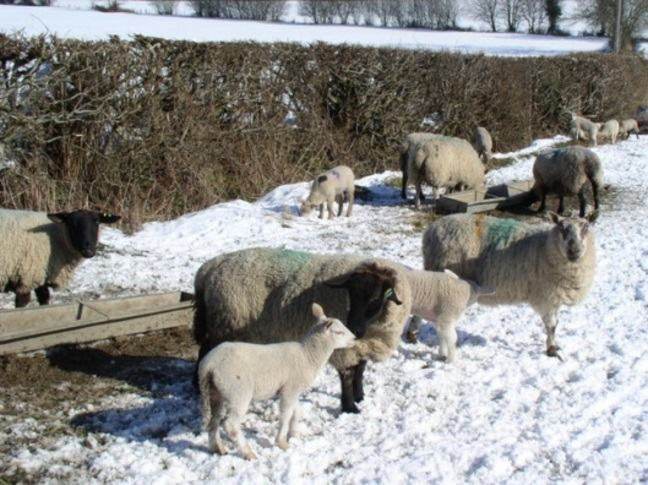 A photograph of sheep in a snowy field near Pwllglas