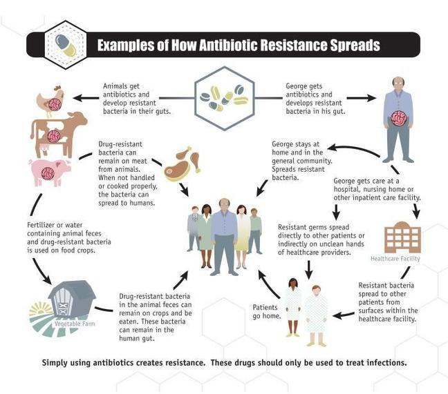 Animals get antibiotics and develop resistant bacteria in their guts. This is linked to the following cycle: Drug resistant bacteria can remain on meat from animals. When not handled or cooked properly, the bacteria can spread to humans. (Arrow to meat and then group of humans). Fertiliser or water containing animal faeces and drug-resistant bacteria is used on food crops.    Arrow to vegetable farm. Drug-resistant bacteria in the animal faeces can remain on crops and be eaten. These bacteria remain in the human gut. Arrow to group of humans. George gets antibiotics and develops resistant bacteria in his gut. George stays at home and in the general community. Spreads resistant bacteria. Arrow to group of humans. George gets care at a hospital, nursing home or other inpatient care facility. (Arrow to healthcare facility) Resistant germs spread directly to other patients or indirectly on unclean hands of healthcare providers. Arrow to image of healthcare providers. Arrow to resistant bacteria spread to other patients from surfaces within the healthcare facility. Arrow to image of healthcare providers. Patents go home. Arrow to group of humans