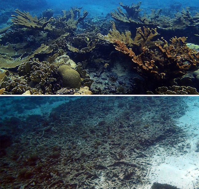 (Left) Intact coral reef dominated by elkhorn corals (*Acropora palmata*) on Curaçao, Lesser Antilles. (Right) Eroded coral *Acropora* reef at another Curaçao site >10 years after bleaching.