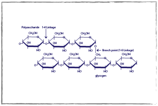Glucose storage as glycogen diagram