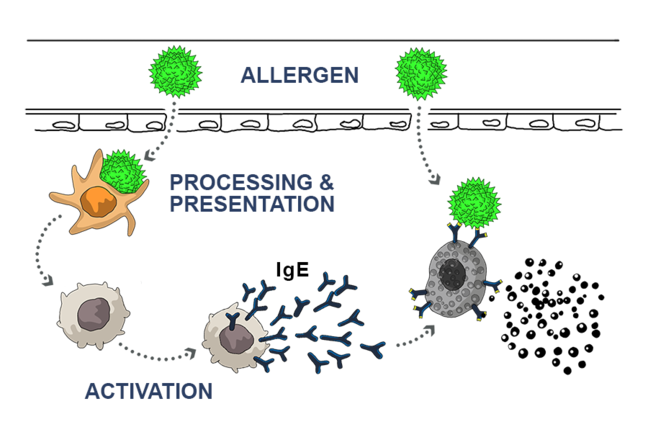 Illustration showing the sensitization pathway. As an allergen enters the body, it is processed by a cell of the immune system. This cell then induces the production of specific cells producing antibodies against the allergen. Moreover, specific memory cells recognising the allergen at a next exposure are produced.