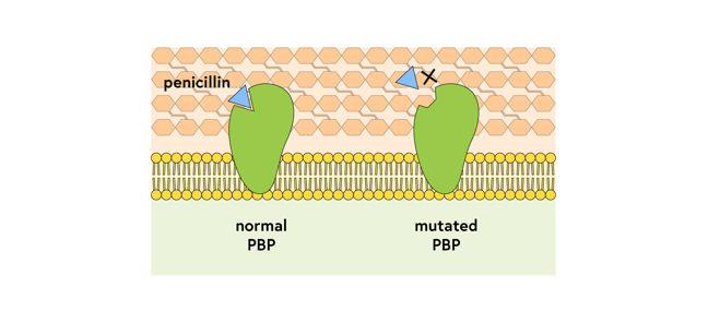 Normal and mutated PBP against a background of the bacterial cell membrane and cell wall; Penicillin fits into a groove on normal PBP but cannot bind to mutated PBP