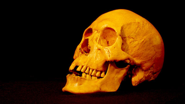 This is a replica of Mr. X's skull.  This skull is of Indo-European ancestry and has worn molars and missing incisors in a similar manner to Mr X